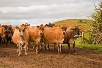 Cape_Egmont_Region;Cape_Egmont;Jersey_Cows