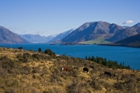 Lake_Coleridge;North_Canterbury;mountains;Hydro_electric;hydro_electricity;cattl