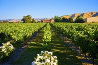Vineyards;Marleborough;Wairau_Plains;vines;vintners;grapes;Brancott_Winery