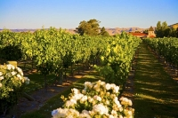 Vineyards;Marleborough;Wairau_Plains;vines;vintners;grapes