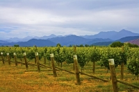 Vineyards;Marleborough;Wairau_Plains;vines;vintners;grapes;Vineyard;cloudy_Range